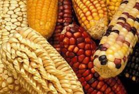Corn Types